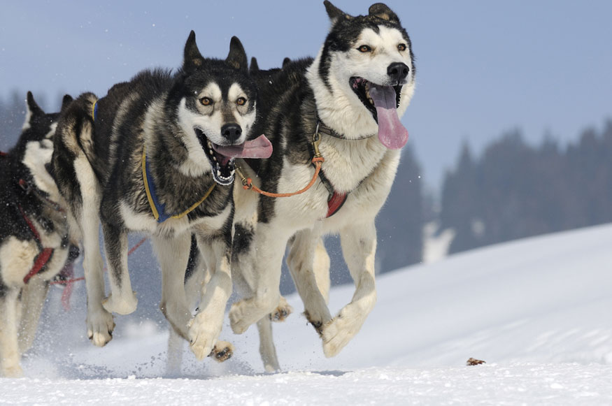 Admission to Cannington Dog Sled Races & Winter Festival - 9th Annual  Cannington Dog Sled Races and Winter Festival